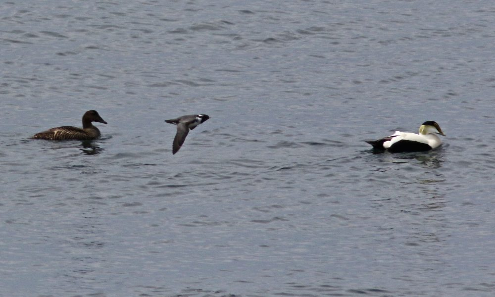 ancient-murrelet-w-eiders