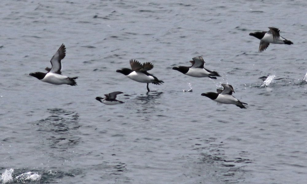 ancient-murrelet-w-razorbills