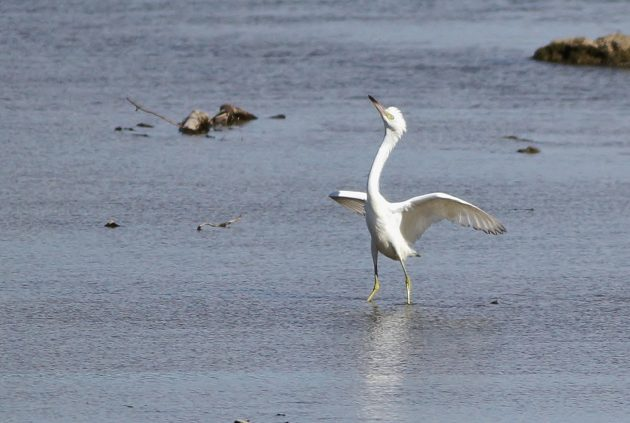 Juvenile Little Blue Heron showing off at the West Fairview boat launch (Photo by Alex Lamoreaux)