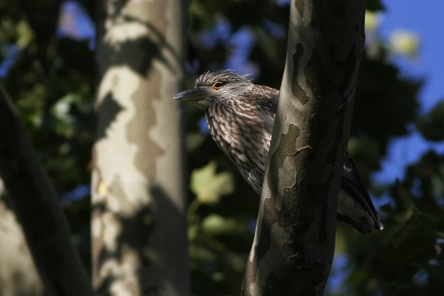 Juvenile Yellow-crowned Night-Herons (Photo by Alex Lamoreaux)