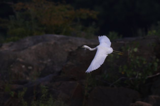 Snowy Egret coming in for a landing at Riverfront Park, Lancaster County (Photo by Alex Lamoreaux)