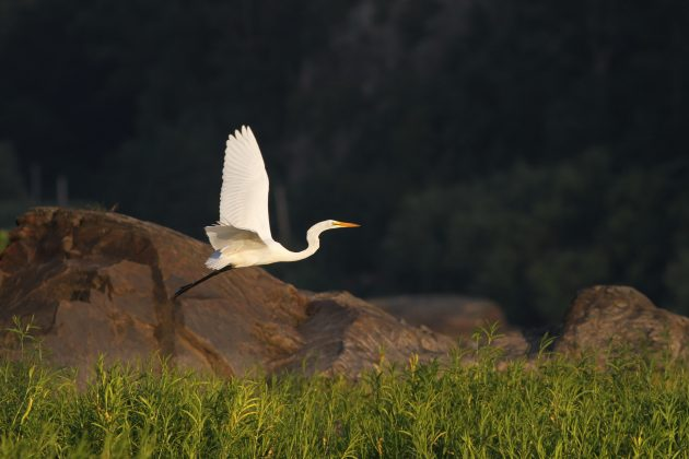Great Egret at Riverfront Park, Lancaster County (Photo by Alex Lamoreaux)