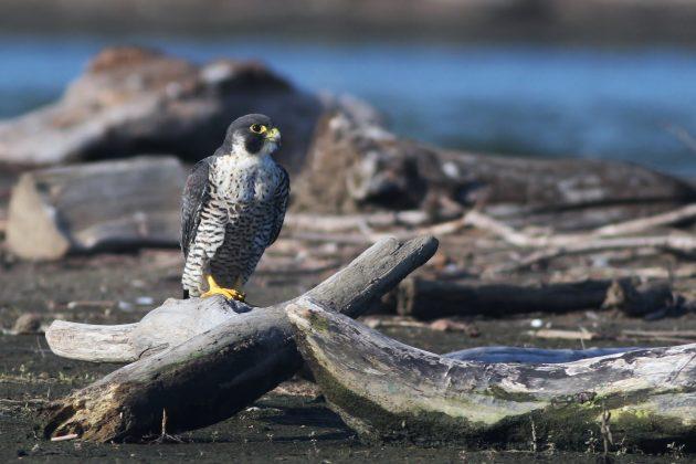 Peregrine Falcon (subadult)